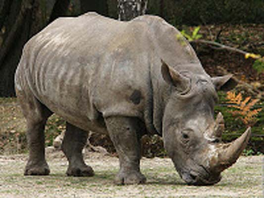 javan sumatran photos of rhinoceros dangerous animal attacks